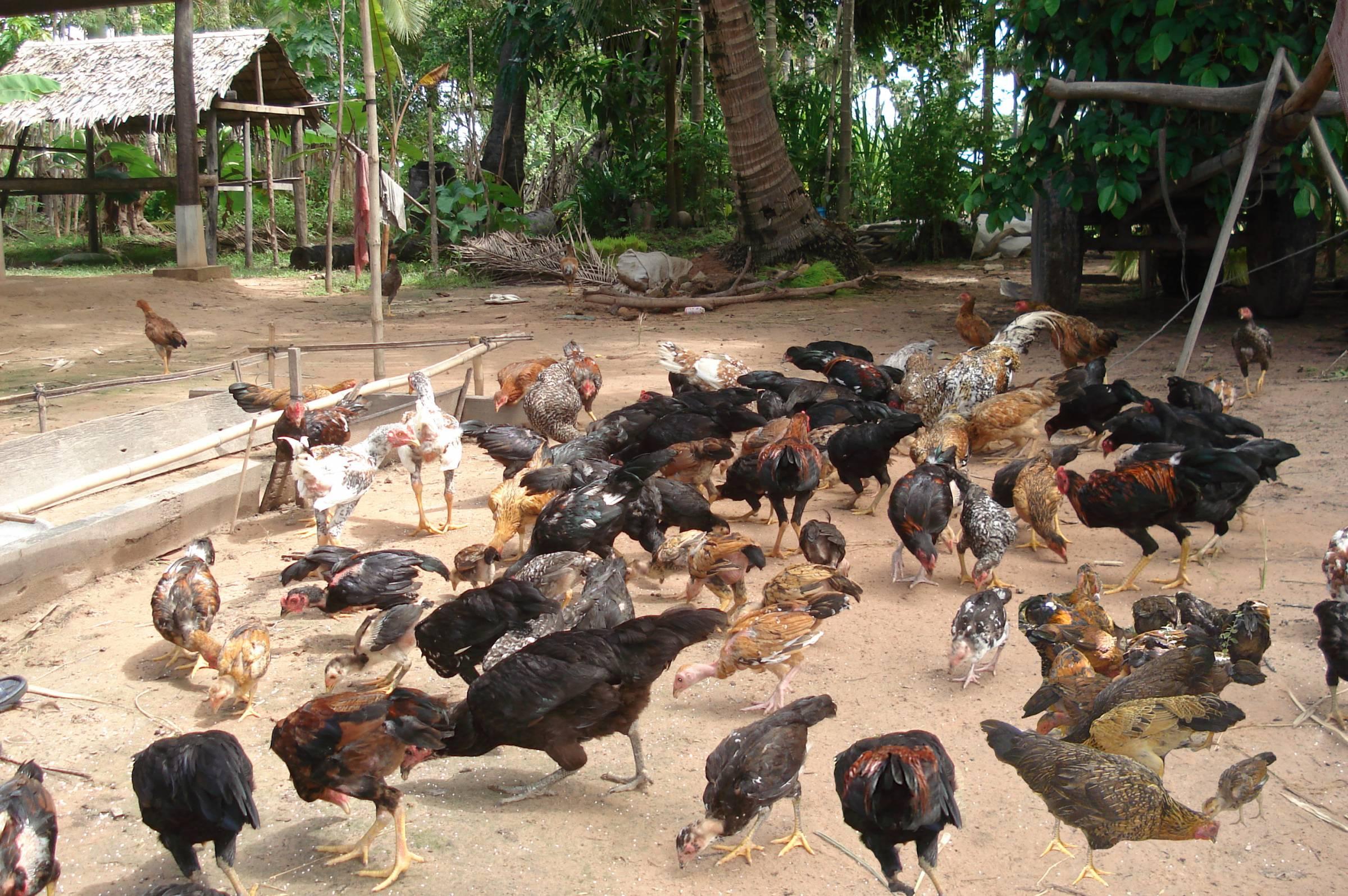 purebred chickens cambodia rhode island red australorp