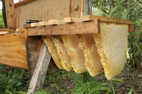 Bees - Bio Logic Cambodia
