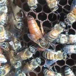 beekeeping cambodia queen bee rearing