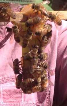Beekeeping Cambodia queen rearing