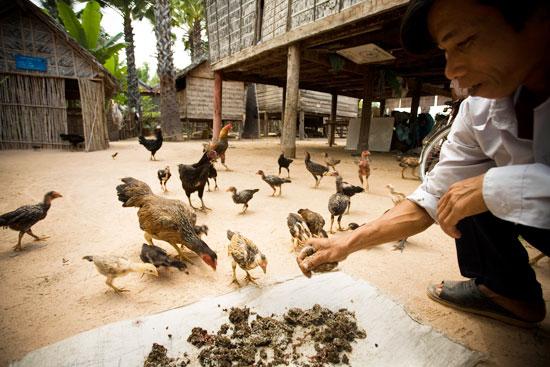 chickens cambodia
